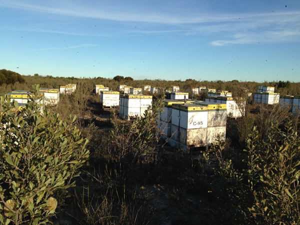 Placing the hives around native banksia